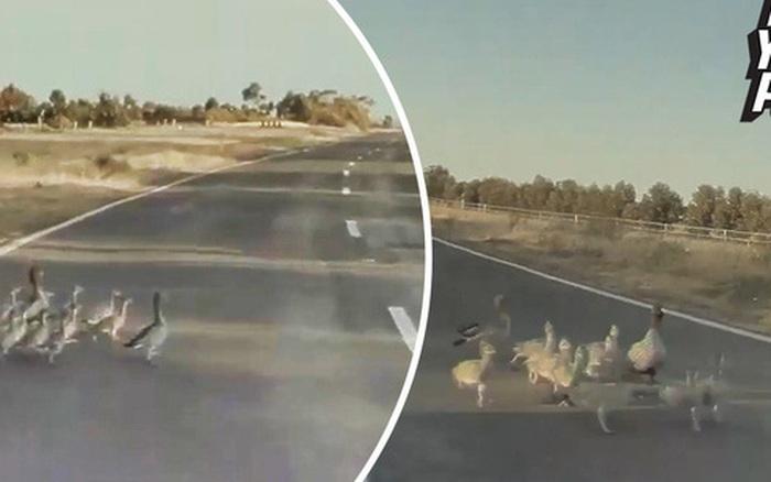 Đại gia đình vịt thoát chết gang tấc dù gặp xe Tesla phóng 100km/h, tất cả nhờ chế độ ...