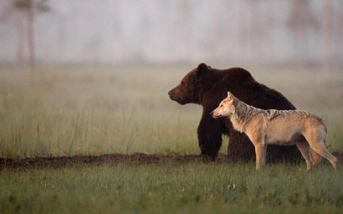 Chuyện tình vụng trộm của nàng sói xám và chàng gấu ...