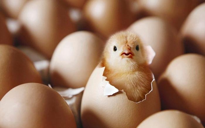 """""""Con gà có trước hay quả trứng có trước?"""" - giới khoa học đã tìm ra manh ..."""