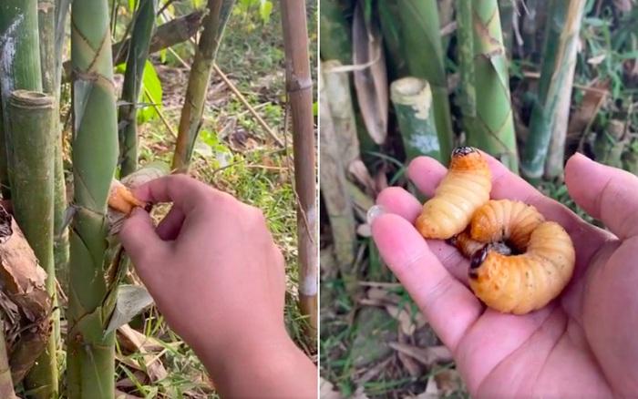 Giờ mới biết đuông dừa còn xuất hiện trong cả… cây tre, dân mạng ...