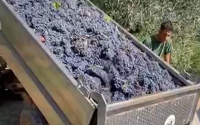 Cận cảnh quy trình sản xuất rượu nho chỉ qua clip 20 giây: đúng là công nghệ ngày càng hiện đại