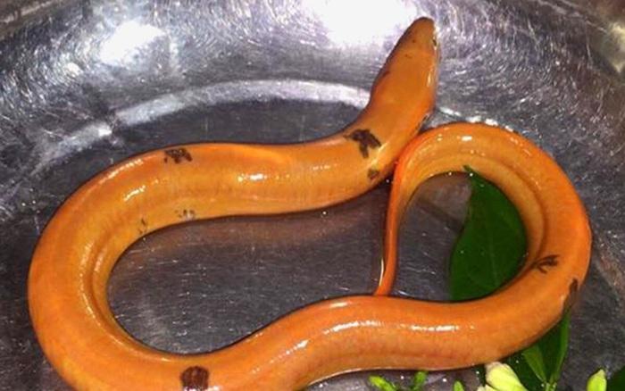 Sự thật về con lươn có màu vàng choé được trả giá đến 1,2 tỷ VNĐ, dân mạng hoang mang làm giàu dễ thế à?