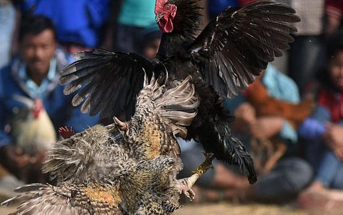 Chọi gà bất hợp pháp, người đàn ông bị gà cưng đá vào háng tử vong