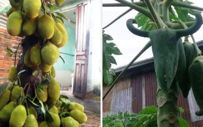 Khi cây trái ở Việt Nam ra hoa kết quả vượt ngoài quy luật tự nhiên, đến cả người trồng cũng sửng sốt không tin