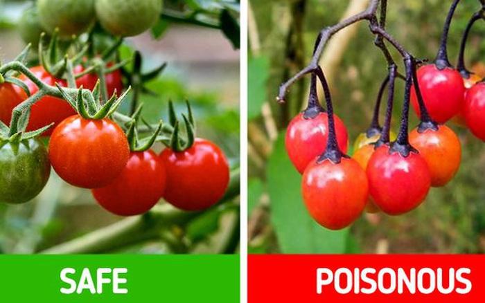 9 loài thực vật luôn khiến con người nhầm lẫn tai hại: Loại thì ăn được, loại lại có độc và cần né xa