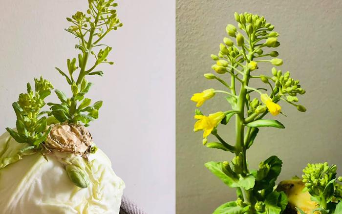 """Lần đầu thấy bắp cải ra hoa, cô nàng đăng đàn khoe """"đột biến"""": Dân mạng vào chốt giá ngay 2 tỷ"""