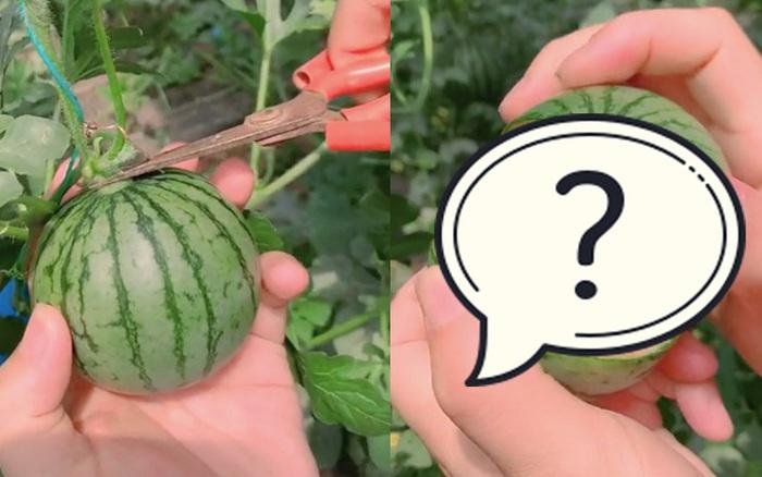 Trái dưa hấu với màn