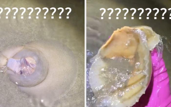 Thanh niên đi biển phát hiện có sinh vật khổng lồ dưới lớp cát, bắt lên mới biết hoá ra là loại ốc rất quen thuộc ở Việt Nam