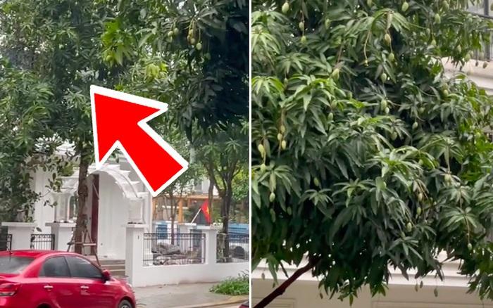 Lác mắt trước cảnh trồng xoài ở khu nhà giàu nức tiếng Sài Gòn, cây nào cũng siêu to và mọc quả trĩu cả cành