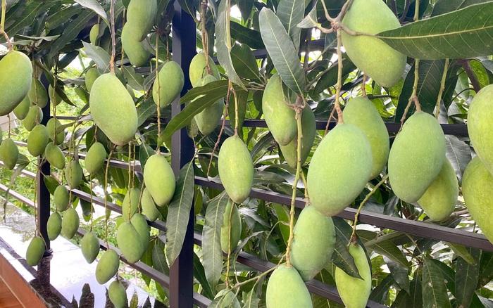 Cô hàng xóm may mắn nhất Việt Nam: Không trồng xoài nhưng vẫn có quả