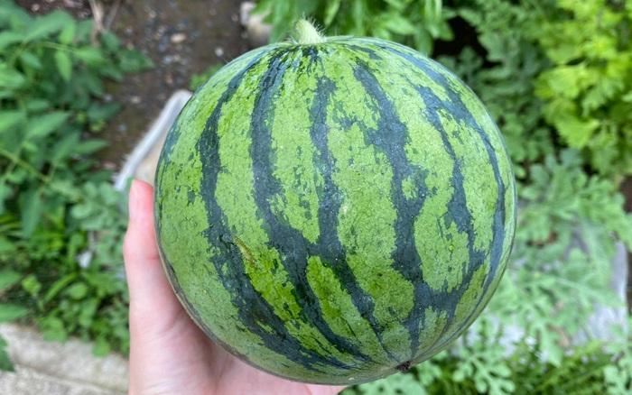 Tự trồng dưa hấu tại nhà được trái to bằng bàn tay, thanh niên nôn nóng bổ ra thì ngã khuỵu với cảnh tượng bên trong