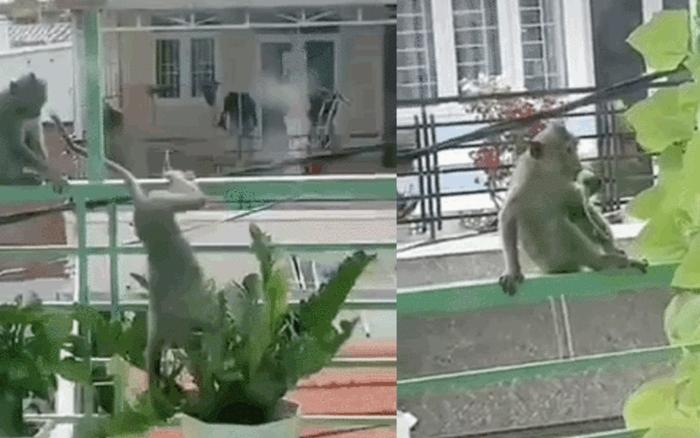 Clip: Bầy khỉ đói ở Vũng Tàu leo dây điện nhảy vào ban công nhà dân, khổ chủ chỉ biết câm nín để đạo tặc ăn sạch