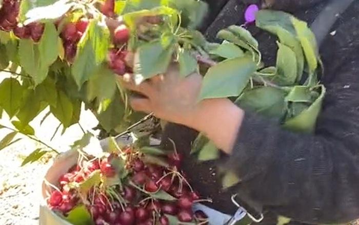 Anh chàng nước ngoài thu hoạch cherry nhanh thoăn thoắt nhưng lại khiến dân mạng Việt Nam tiếc rẻ bởi lý do này