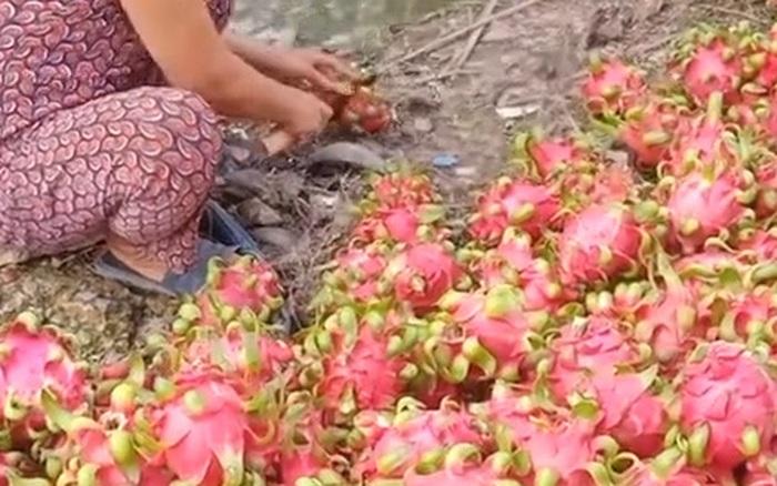 Một gia đình cắt bỏ hàng trăm quả thanh long cho cá ăn vì không thể bán được khiến ai cũng cảm thấy tiếc nuối